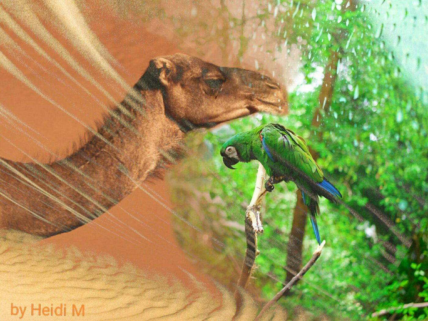 A blended picture of a camel in the desert being merged with a parrot in the rainforest.